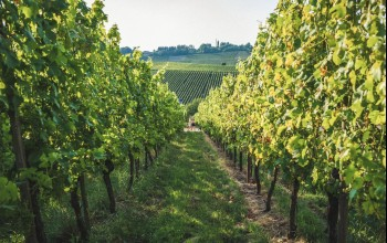 Vineyards Wellenstein